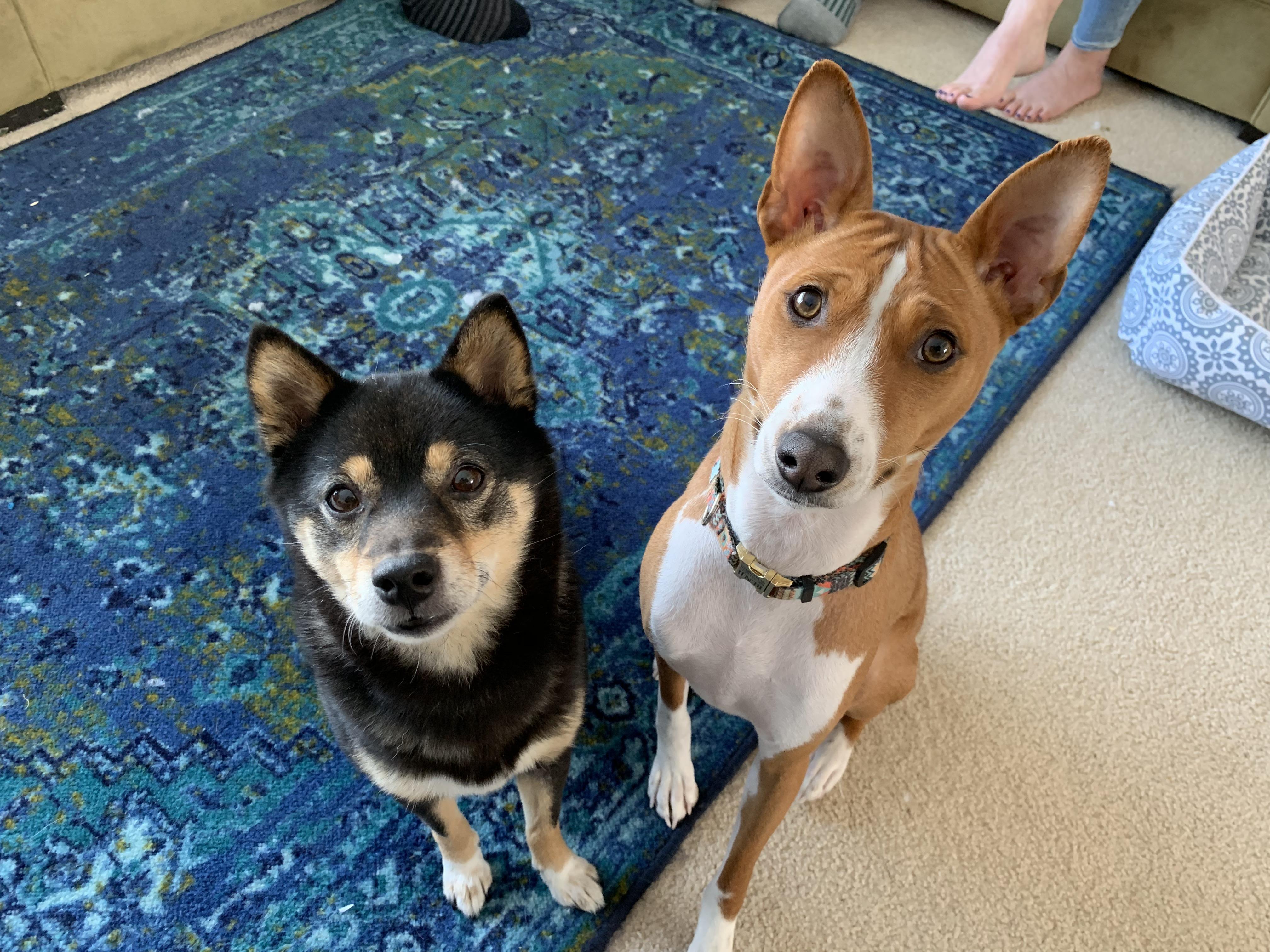 Kennel Training Helps A Basenji