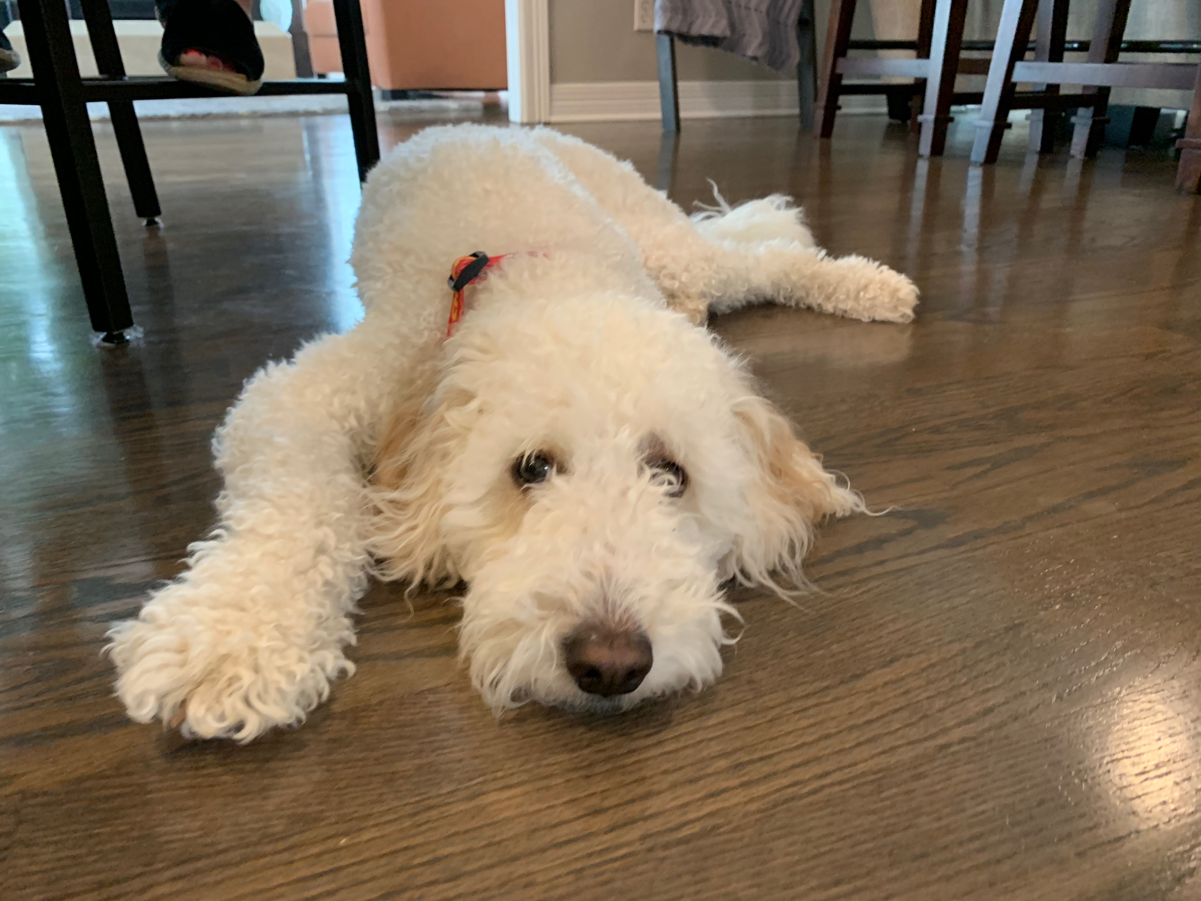 Tips to Stop a Goldendoodle From Resource Guarding His Bed: Dog Gone