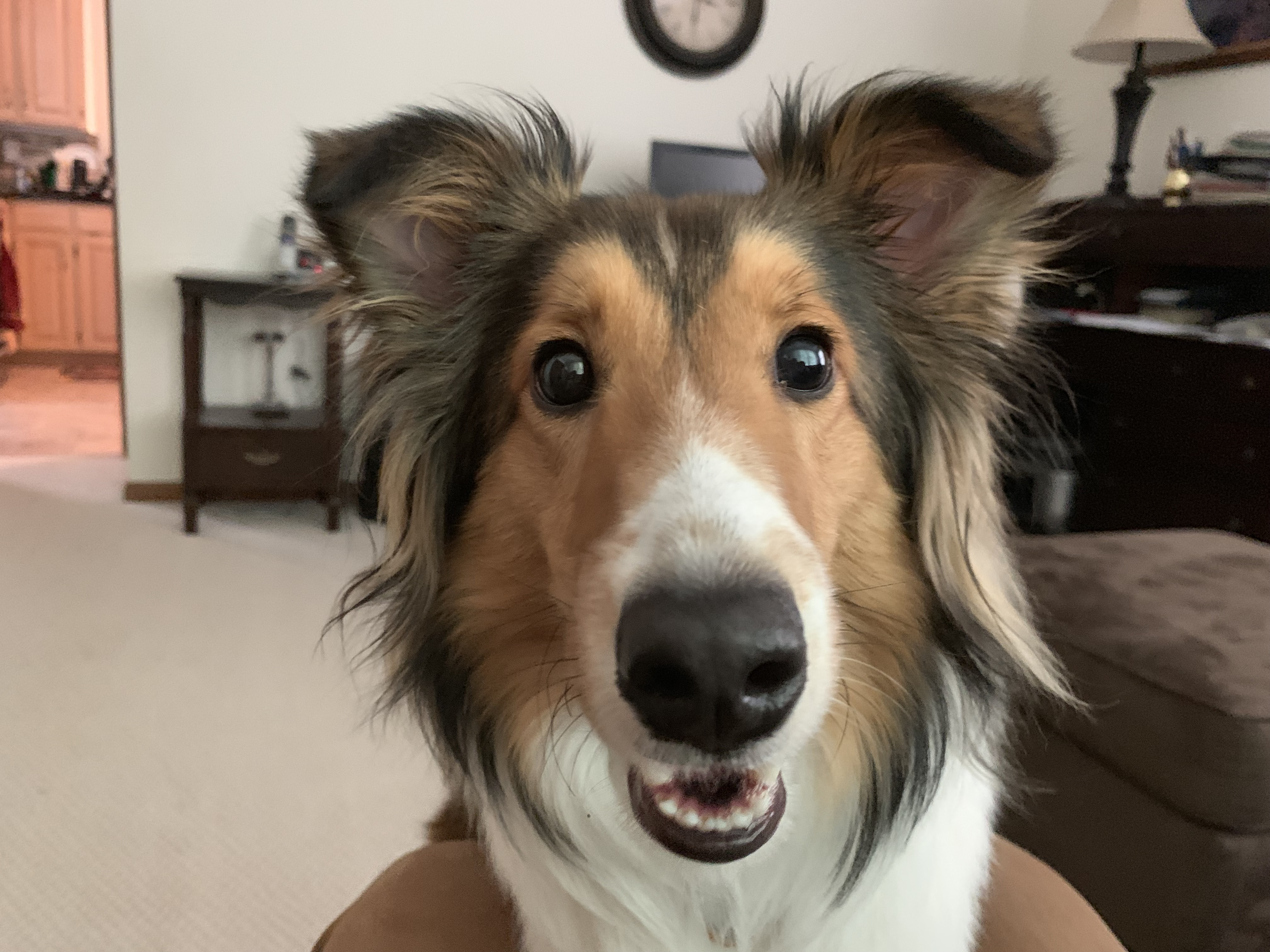 Tips To Stop A Sheltie From Pulling On The Leash Dog Gone Problems