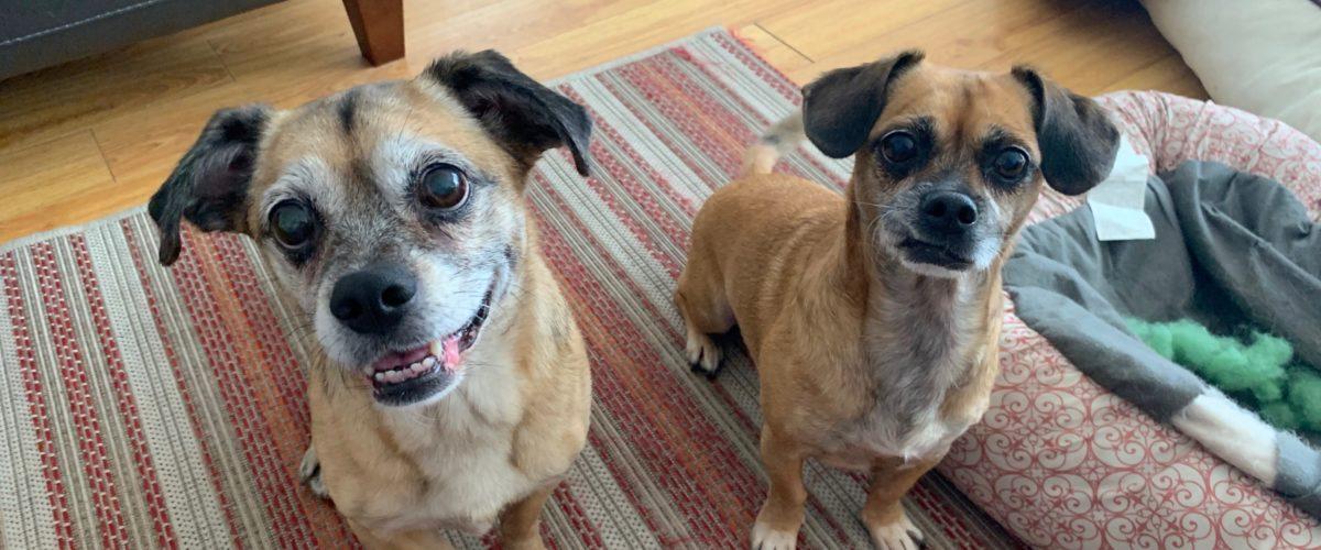 Tips to Help a Pair of Santa Monica Puggles Calm Down