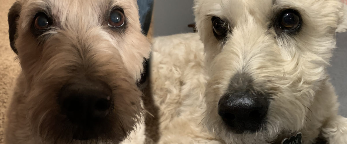 Helping a Wheaton Terrier Get Over His Separation Anxiety
