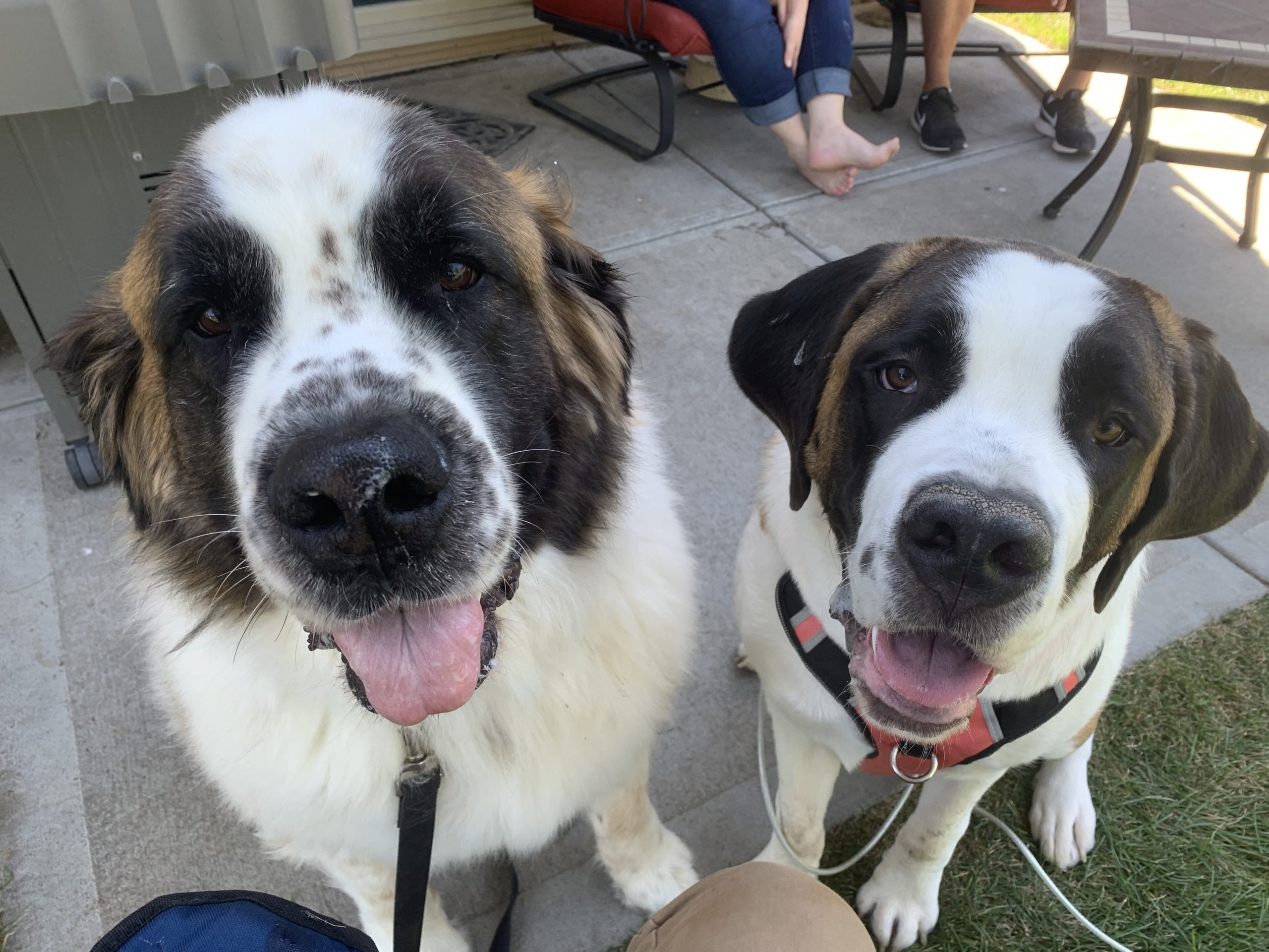 Tips To Help A St Bernard Puppy Stop Acting Aggressive To Other Dogs Dog Gone Problems