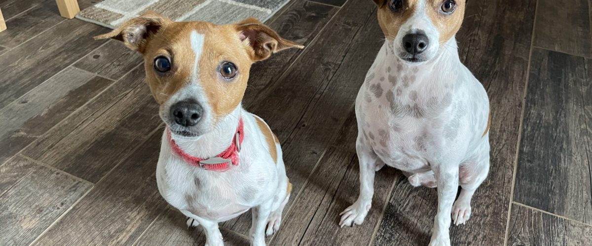 Helping a Pair of Rat Terriers With Dominance Problems Stemming From Sibling Rivalry