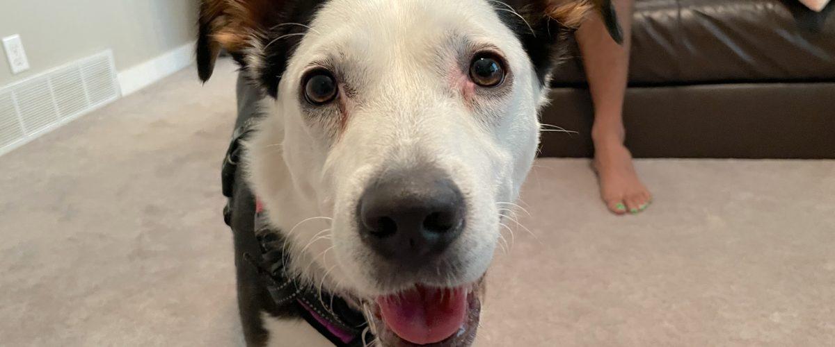 Teaching a Dog to Focus to Help Her Listen Better
