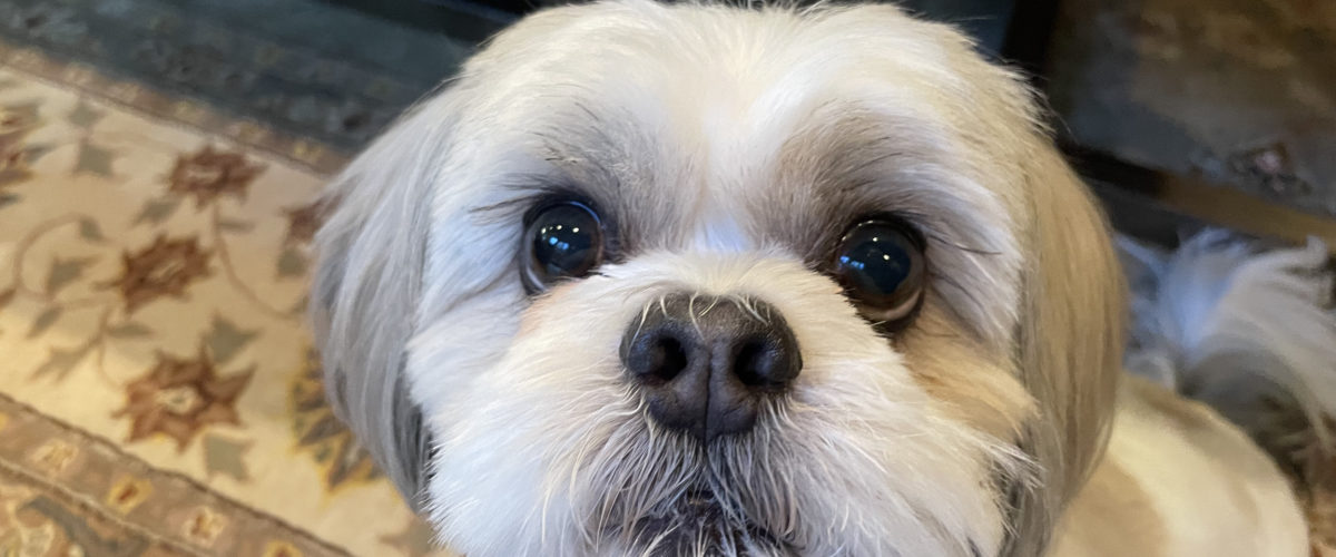 Tips to Help a Shih Tzu Stop His Infrequent Aggressive Behavior